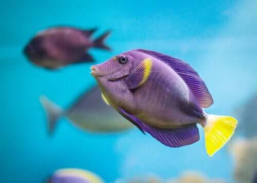 Tropiska fiskar kan vara lila.
