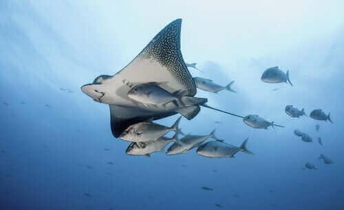 Rocka simmar i ett stim med fiskar.