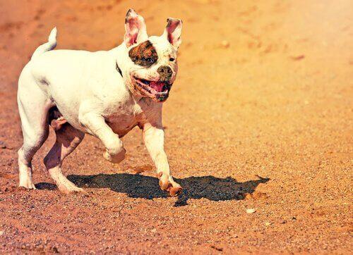 En Amerikans bullterier springer över sand.