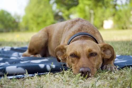Trött hund ligger på en filt utomhus.