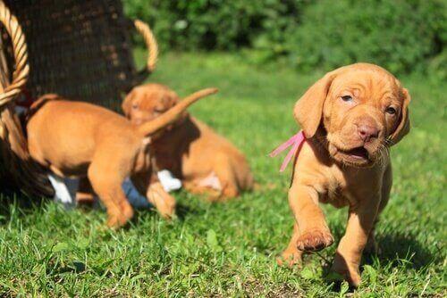 Valp leker utomhus med sina syskon.