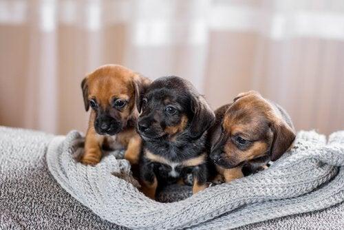 Varför en valp behöver interagera med andra hundar