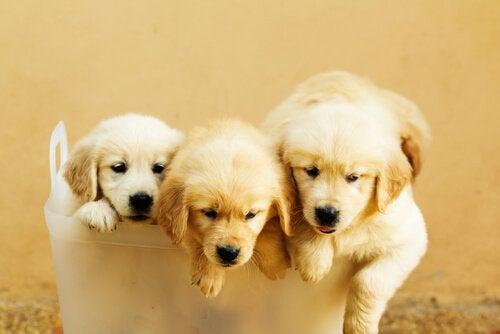Tre söta valpar sitter i en korg.