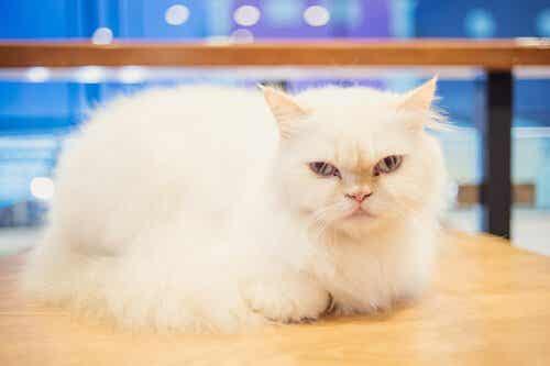 Är det möjligt att träna en katt?  Vad tror du?