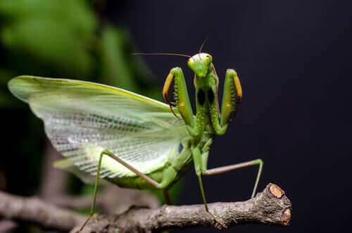 Bönsyrsa fäller ut vingarna för att skrämma bort rovdjur.