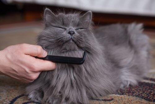 Ägare bortsar pälsen på sin katt.