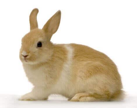 Brun kanin med vit rand.