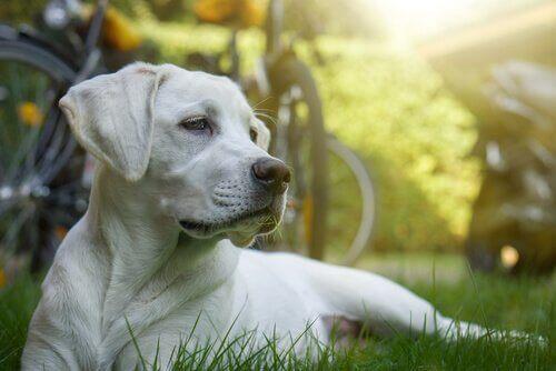 Cellgiftsbehandling för hundar: är det möjligt?