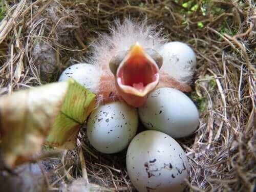 Nykläckt fågelunge i ett bo med ägg.