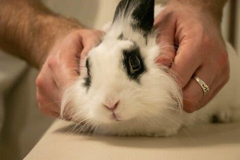 Fluffig kanin med vestibulärt syndrom blir undersökt av en veterinär.