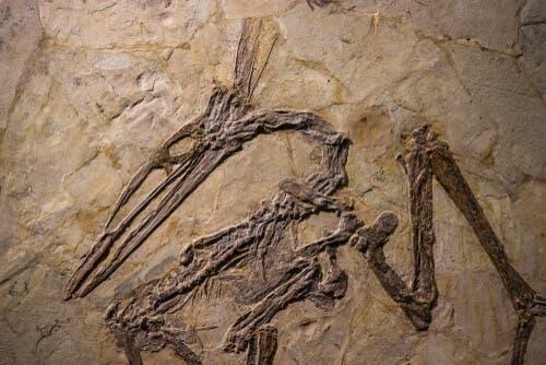 Fossil av en stornäbbad fågel.