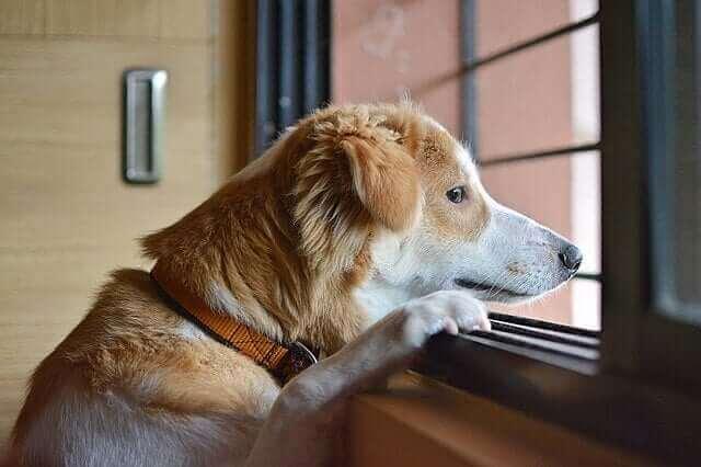 Hund med separationsångest tittar ut genom fönstret.
