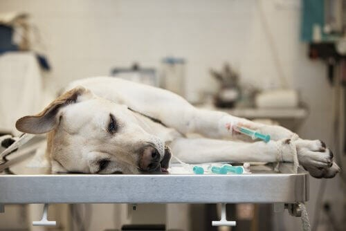 Hund ligger på sjukhus med IV.