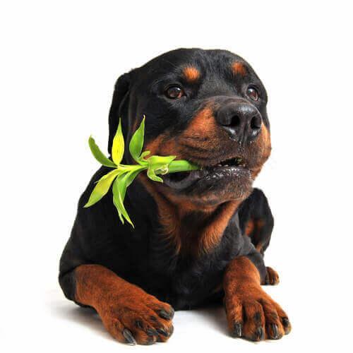 Hund tuggar på en växt.