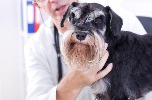 Hund hos veterinären blir undersökt.