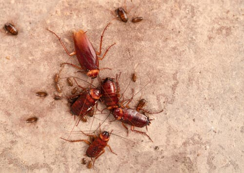 En familj av kackerlackor