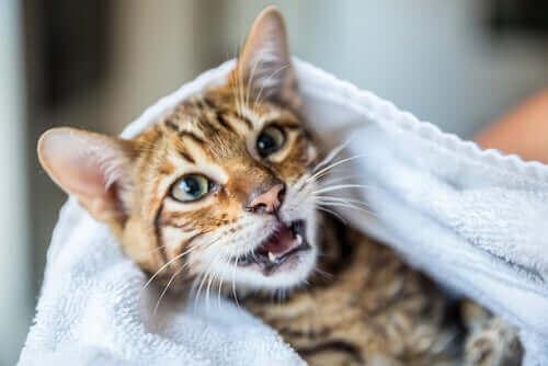 Katt sitter under en handduk.