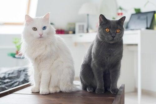 Två katter sitter på ett bord.