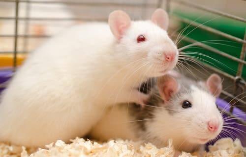 Två råttor i en bur.