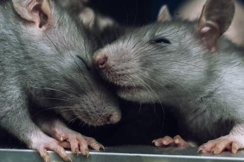 Kan råttor känna empati, eller kan enbart människor det?