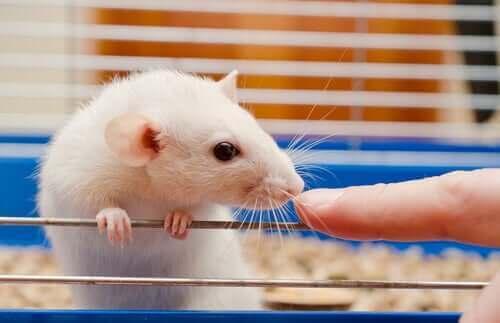 Uppdateringar kring råttvård i laboratorier