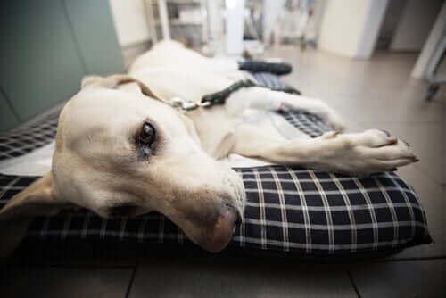 Hund ligger sjuk på en bår.