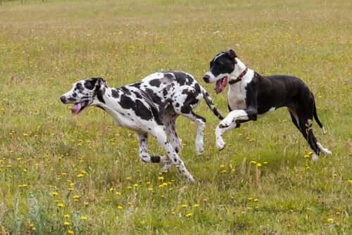 Ett par stora hundar leker i ett fält.