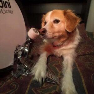 hundar älskar rockmusik: hund vid trumma