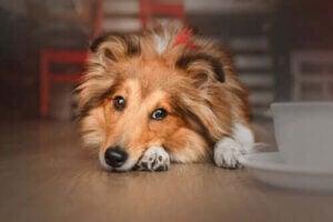 hund på golv