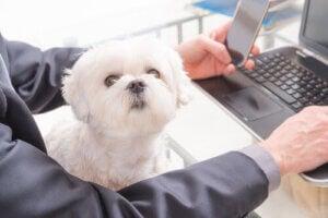 universitetshundar: hund sitter i knät medan person jobbar på dator