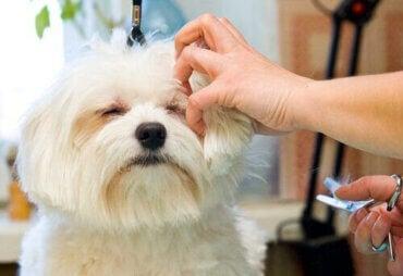 Varför trimma sin strävhåriga hund?