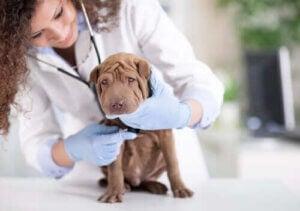 hunds anala körtlar: veterinär undersöker valp