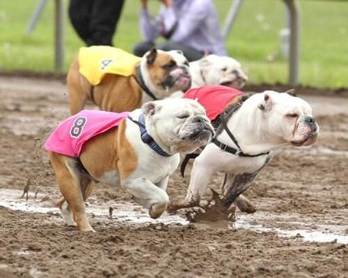 Bulldoggar springer på en lerig bana under bulldoggens dag.