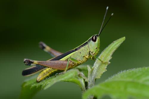 Fakta om hopprätvingar: gräshoppa