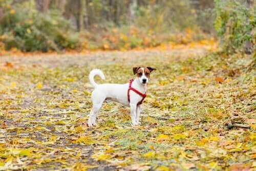 En hund i sele ute på en höstpromenad.