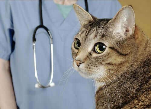 Katt tittar bort från en veterinär.