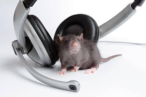 Råtta lyssnar på musik via hörlurar.