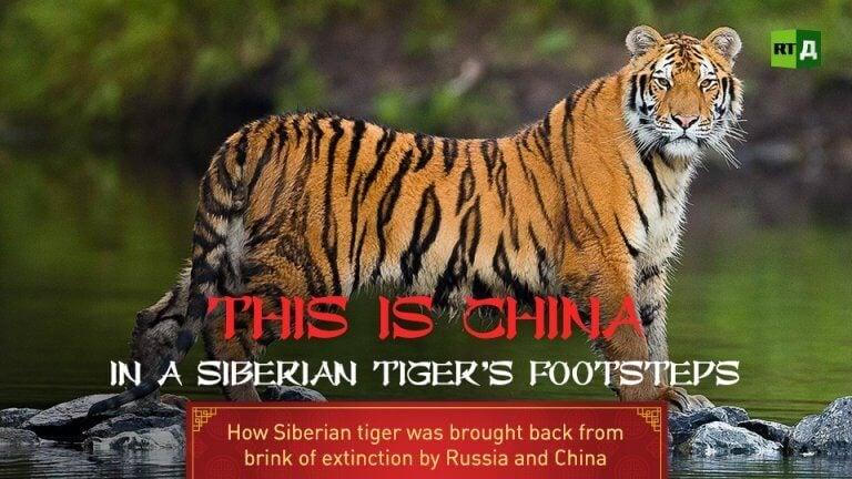 I den sibiriska tigerns fotspår