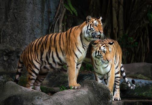 Två tigrar ute i naturen