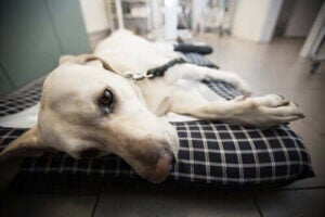 kemoterapi för husdjur: sjuk hund