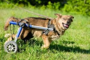 rullstolar för hundar