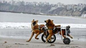 rullstolar för hundar: hundar med rullstolar leker på strand