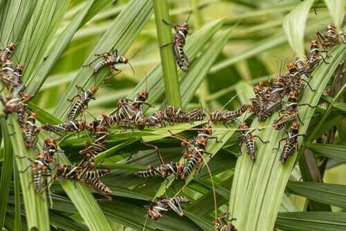 Fakta om hopprätvingar: En svärm av vandringsgräshoppor sitter i en buske.
