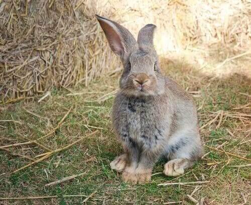 Den Belgiska jättekaninen: Världens största kaninras