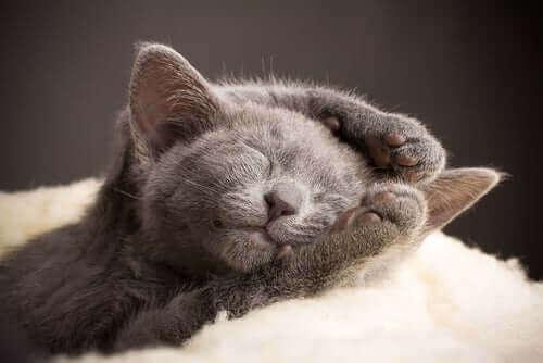 En kattunge av rasen brittiskt korthår.
