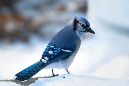 En blåskrika står i ett vinterlandskap.