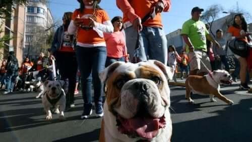Hundratals bulldoggar på parad för att försöka slå rekord