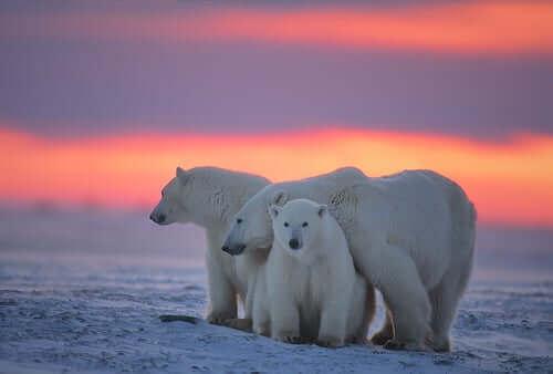 En familj av isbjörnar.