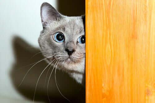 Katter och fyrverkerier: Därför gillar inte katter höga ljud