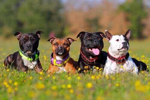 Varför finns det så många olika hundraser?